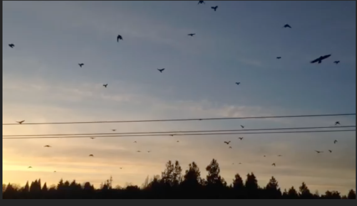 crows-fly
